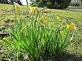 20130402Narcissus pseudonarcissus1.jpg