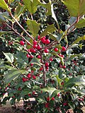 2014-12-30 12 56 56 American Holly foliage and fruit at the intersection of Pennington Road (New Jersey Route 31) and King Avenue in Ewing, New Jersey.JPG