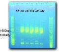 2014 01 13MR Gel PCR products 1 pic.jpg