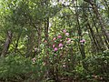 2016-05-27 12 47 50 Catawba Rhododendron flowering along Virginia State Route 56 (Crabtree Falls Highway) near Montebello in the portion of George Washington and Jefferson National Forest in Nelson County, Virginia.jpg