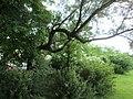 20180522Elaeagnus angustifolia3.jpg