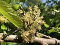 2019-04-27 14 44 24 A Red Mulberry flower along a walking path in the Franklin Farm section of Oak Hill, Fairfax County, Virginia.jpg