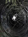 2019-08-22 23 06 28 A spider in a spider web at night (illuminated by the camera flash) along Tranquility Court in the Franklin Farm section of Oak Hill, Fairfax County, Virginia.jpg