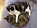 2019-12-05 15 42 08 A Tabby cat and a Calico cat cuddling on a bed in the Franklin Farm section of Oak Hill, Fairfax County, Virginia.jpg
