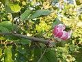 20190822 Apple tree is blooming in autumn 03.jpg