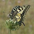 20 Papilio-machaon.jpg