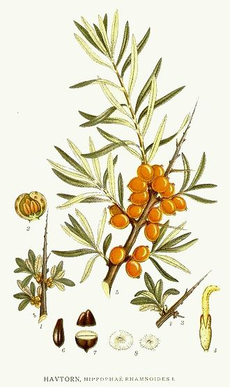 Hippophae rhamnoides - Painting by the Swedish botanist C. A. M. Lindman (1856–1928), taken from his book, Bilder ur Nordens Flora, published in 1901