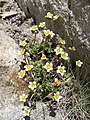 3888 - Gornergrat - Flowers.JPG