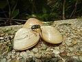 4300Ants of the Philippines Common houseflies 02.jpg