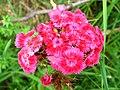 4946 - Mürren-Gimmelwald - Formicidae on Flowers.JPG