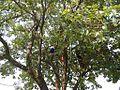 9764jfSyzygium cumini Santa Trinidad Angelesfvf 04.jpg