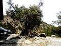 A@a olive tree (St.Cristine Chapel - Agia Paraskevi area ) Askas - panoramio.jpg