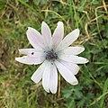A. Hortensis 2.jpg