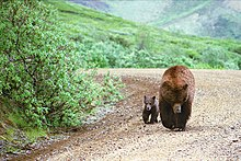 Adult brown bear (Ursus arctos) and cub walk in step along the park road straight toward camera, as seen and photographed from a tour bus.