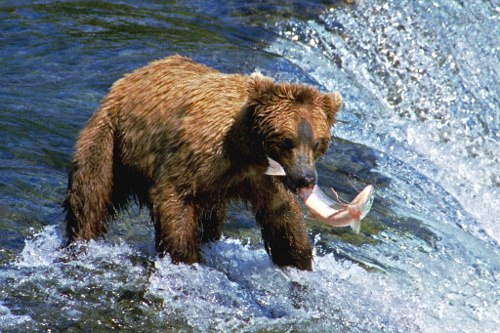 A053, Katmai National Park, Brooks Falls, Alaska, USA, bear and salmon, 2002