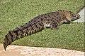 AZ Crocodile-1 (4630644102).jpg