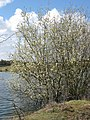 A Flooded Willow Tree - geograph.org.uk - 1233475.jpg