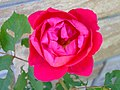 A Rose (Must Resist Urge to Quote Shakespeare) (3813374796).jpg