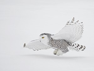 Snow camouflage - Snowy owl remains white all year round.