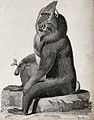 A baboon sitting on a stone holding a fruit in its right han Wellcome V0021203.jpg