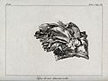 A barnacle or goose-mussle encrusted in a rock. Etching. Wellcome V0021959.jpg