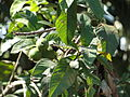 A closeup of guava plant 1.JPG