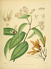 A hand-book to the flora of Ceylon (Plate XI) (6430635233).jpg