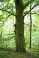 A hauntingly green tree in Little Beck wood. - geograph.org.uk - 957882.jpg