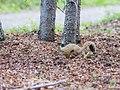 A red squirrel near a trail in Denali (dd3d3de4-27a5-4ad4-8a89-3f3afed0032c).jpg
