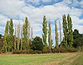 A row of tall poplars by Heath Side - geograph.org.uk - 1536727.jpg