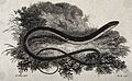 A snake-like reptile with legs. Etching by Heath after Dr. S Wellcome V0021220.jpg