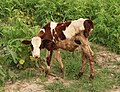 A view of calf in the field of Janakpur, Nepal 20170622 183443 (cropped).jpg