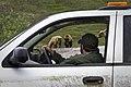 A wildlife technician observes bears on the Denali Park Road (0df734f0-a26e-4476-bbeb-0766390d6908).jpg