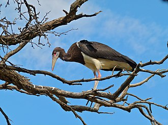 Stork - Abdim's storks are regular intra-African migrants