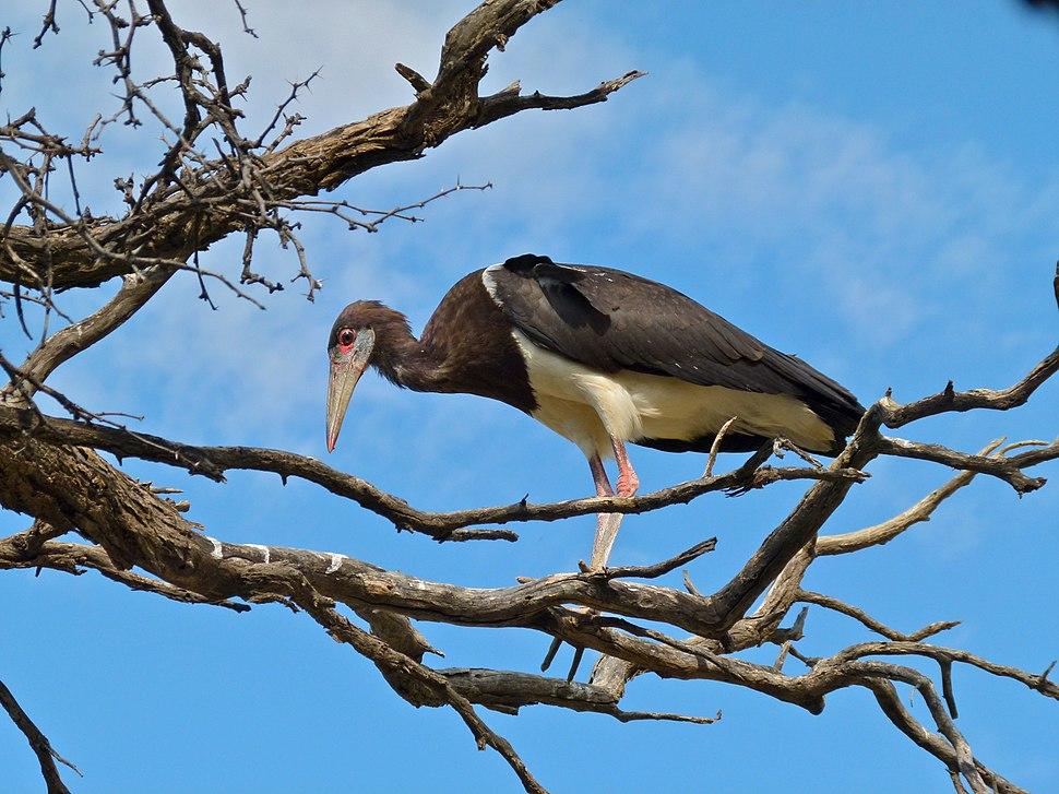 Abdim's Stork (Ciconia abdimii) (7011390701)