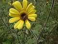 Abeja polinizando planta amarilla en Parque Ecológico de Xochimilco.JPG