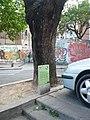 Acàcia del Japó del carrer del Mas Duran P1500890.jpg