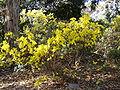 Acacia boormanii 01.jpg