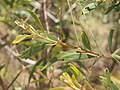 Acacia disparrima subsp. disparrima foliage.jpg