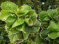 Acalypha wilkesiana forma circinata.jpg