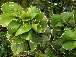 Acalypha wilkesiana forma circinata