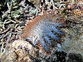 Acanthaster planci in the nature.jpg