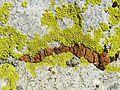 Acarospora thamnina amid Pleopsidium flavum - Flickr - pellaea.jpg