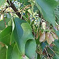 Acer buergerianum leaves and fruits.jpg