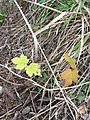 Acer pseudoplatanus by Tim Park.jpg