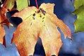Acer x freemanii Autumn Blaze 4zz.jpg