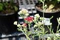 Achillea millefolium Summerwine 0zz.jpg