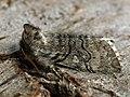 Achlya flavicornis - Yellow horned - Совковидка желтоусая (40853708041).jpg