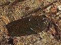 Acleris hastiana - Плоская листовёртка изменчивая (26462554017).jpg