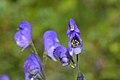Aconitum napellus inflorescence (50).jpg
